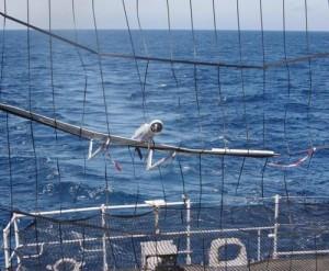 Le drone français DVF 2000 à l'issu d'un vol dans le filet de l'aviso Commandant Bouan.